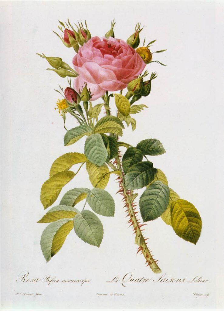 Rosa Bifera Macrocarpa von Pierre-Joseph Redouté